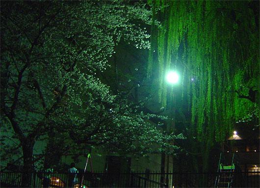 京都高瀬川の夜桜