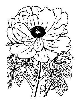 ボタン (植物)の画像 p1_30