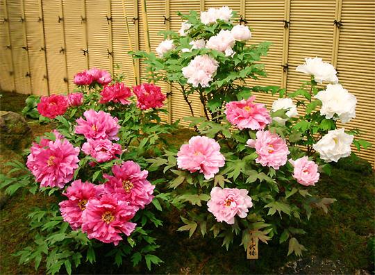 ボタン (植物)の画像 p1_2
