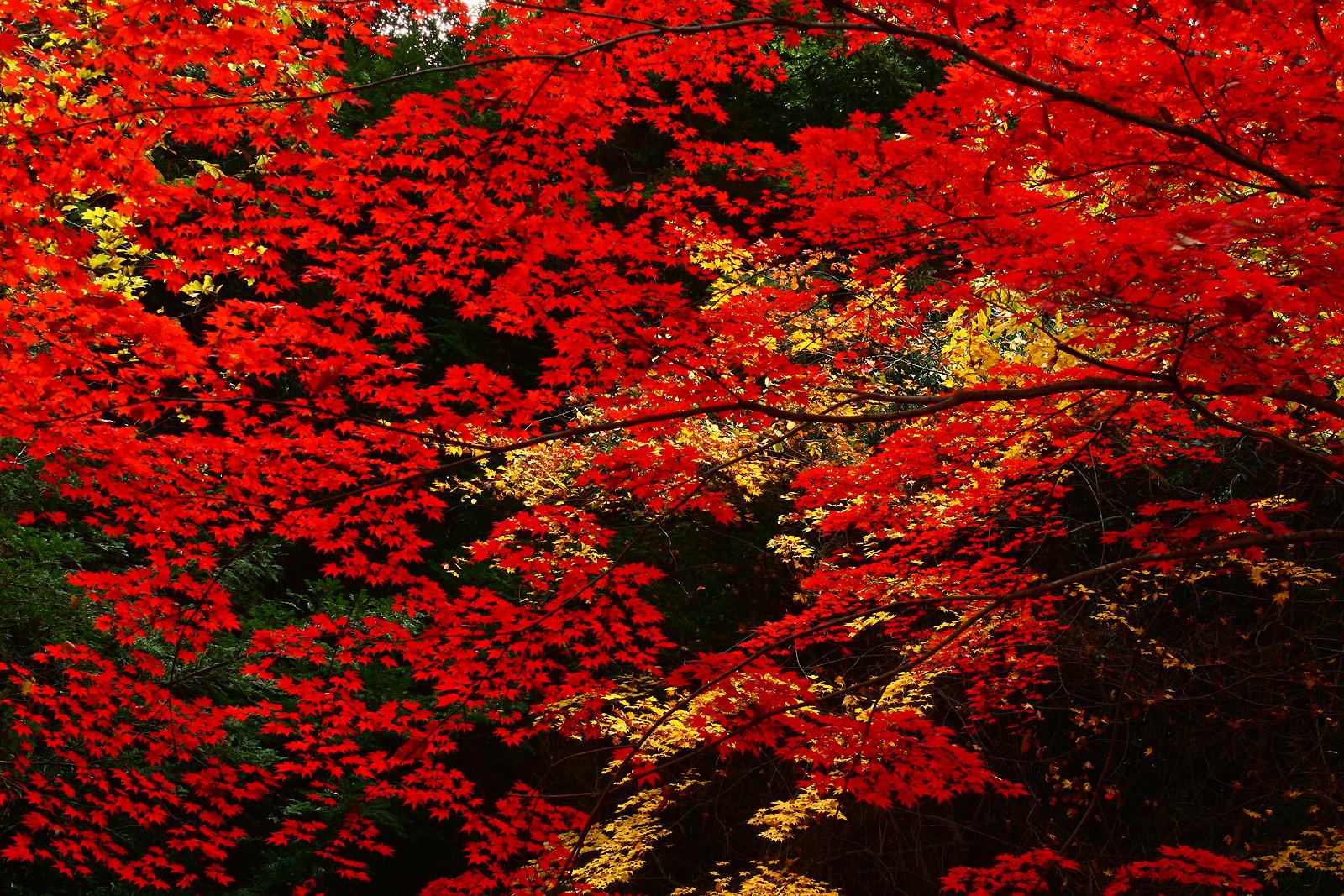 宮島 紅葉 赤モミジの大きな写真
